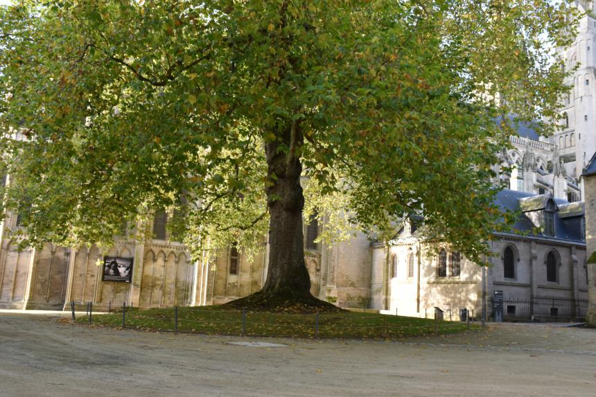 Arbre de la liberté à Bayeux